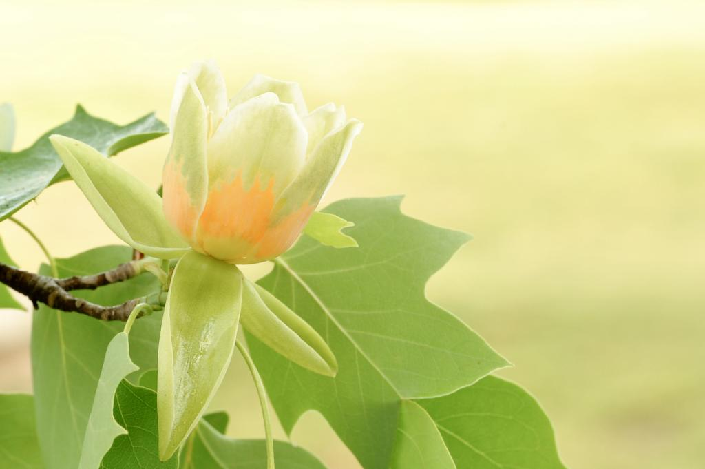 Тюльпанное дерево. (Dawn Yilmaz)