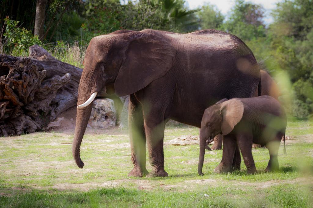США. Флорида. «Королевство животных» Всемирного центра отдыха Уолта Диснея. Слоны. (Jeff Krause)