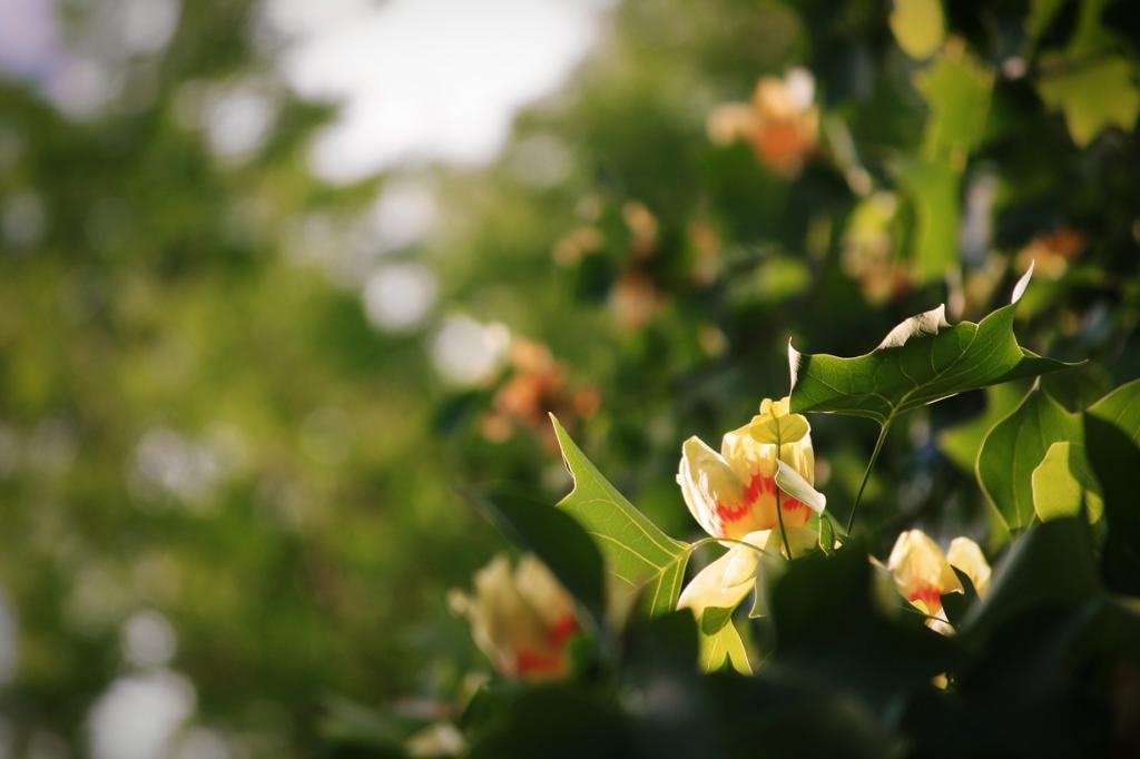 Тюльпанное дерево. (jennifernish)
