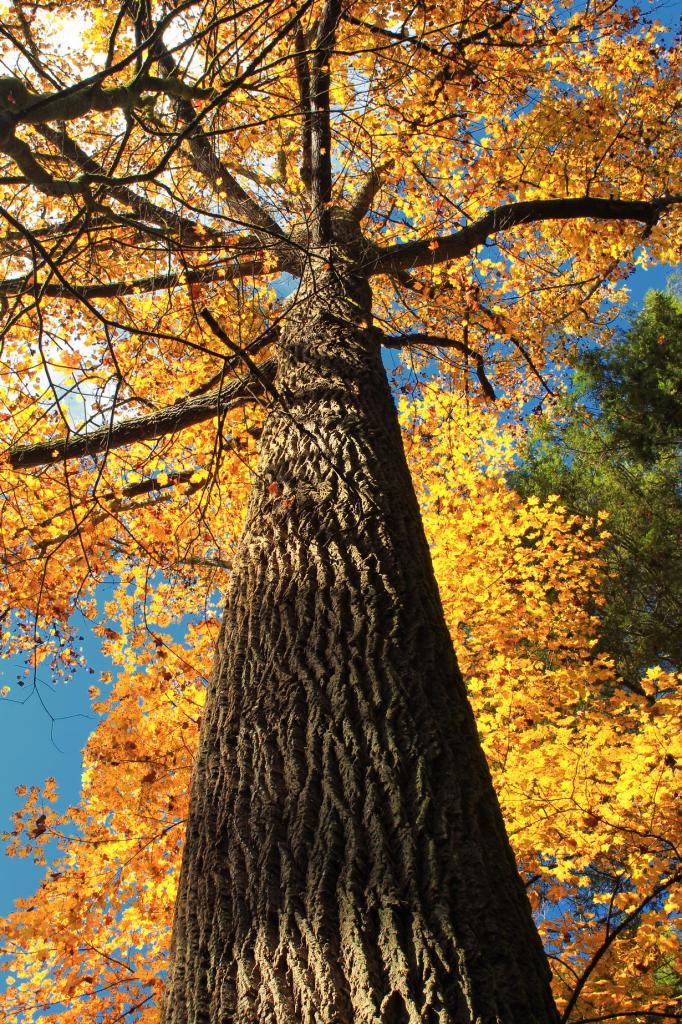 Тюльпанное дерево. (Nicholas A. Tonelli)