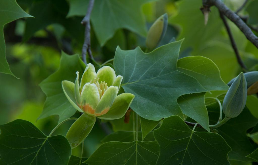 Тюльпанное дерево. (rachelgreenbelt)