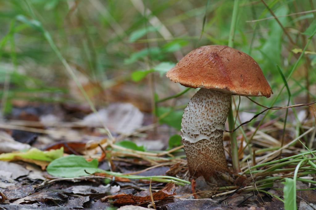 Подосиновик — съедобный гриб 2-й категории. Имеет красновато-коричневую шляпку (до 25 см) и толстую ножку с тёмными чешуйками. Произрастает в лиственных и смешанных лесах. (Tatiana Bulyonkova)