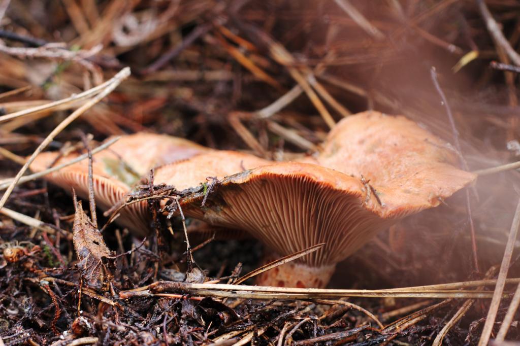Рыжик настоящий — съедобный гриб 1-й категории. Имеет оранжевую или светло-рыжую шляпку воронкообразной формы с распрямляющимися краями и ножку того же цвета (до 7 см). Произрастает в хвойных лесах. (Anna Valls Calm)