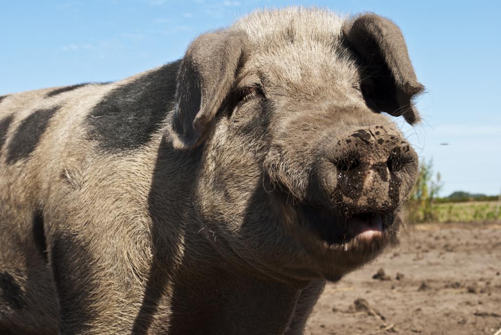 Пускай животные не обладают достаточным интеллектом, чтобы называть их «разумными», однако некоторые из них совершенно точно умнее и сообразительнее других. Например, свиньи. Они легко обучаются, обладают прекрасной памятью и демонстрируют высокие результаты в тестах на сообразительность. (Ignacio Mileo)