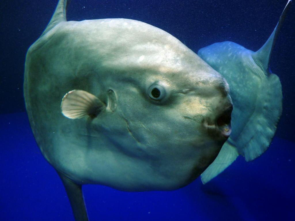 Луна-рыба. (makitani)