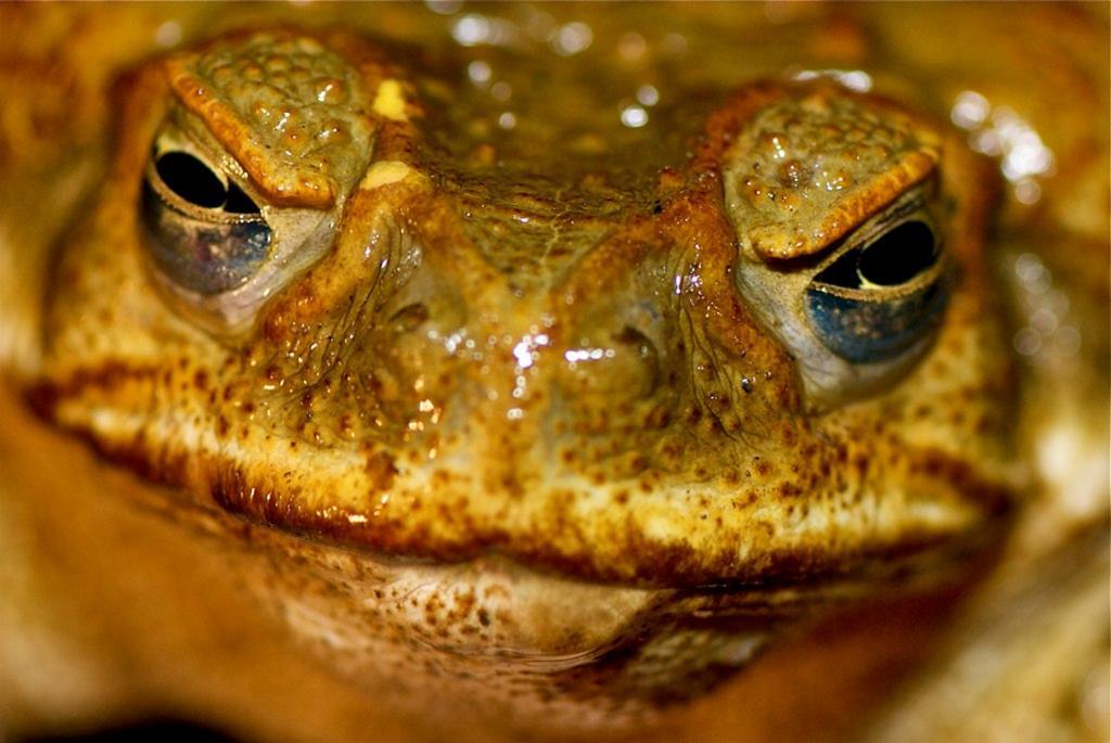 Думаете, инцидент с кроликами чему-то научил австралийцев? Отнюдь. В 1935 году на континент завезли огромных ядовитых тростниковых жаб ага — для борьбы с сельскохозяйственными вредителями. На новом месте 60 тыс. жаб уничтожать вредителей не захотели, зато им понравились местные ящерицы, лягушки, пчёлы и даже мелкие звери. Отравив жертву кожными выделениями, тростниковая жаба способна за пару дней сожрать мелкого кенгуру. (Pete Hill)