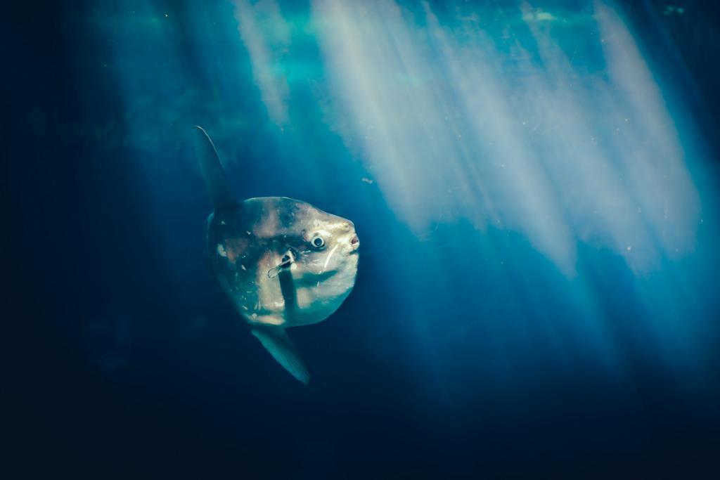 Луна-рыба. (Chris Zielecki)