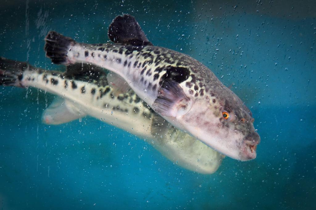 Рыба вида бурый фугу. (spaztacular)