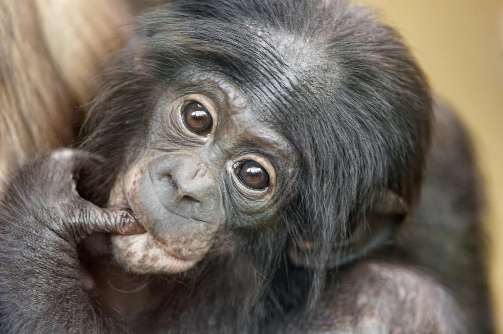 Шимпанзе, в особенности бонобо — это очень смышлёные существа и самые близкие родственники человека в животном мире. Хотя шимпанзе не могут говорить из-за строения голосового аппарата, они способны общаться руками на языке жестов, употреблять слова в переносном смысле, создавать новые понятия, комбинируя известные слова. Они способны изготовлять орудия труда (очищать палки от листьев, заострять палки и камни) и обладают чувством юмора. Если посадить рядом детёныша шимпанзе и ребёнка, то до 2 лет в интеллектуальном плане вы не обнаружите между ними никакой разницы (порой шимпанзе оказывается даже смышлёнее). (Tambako The Jaguar)