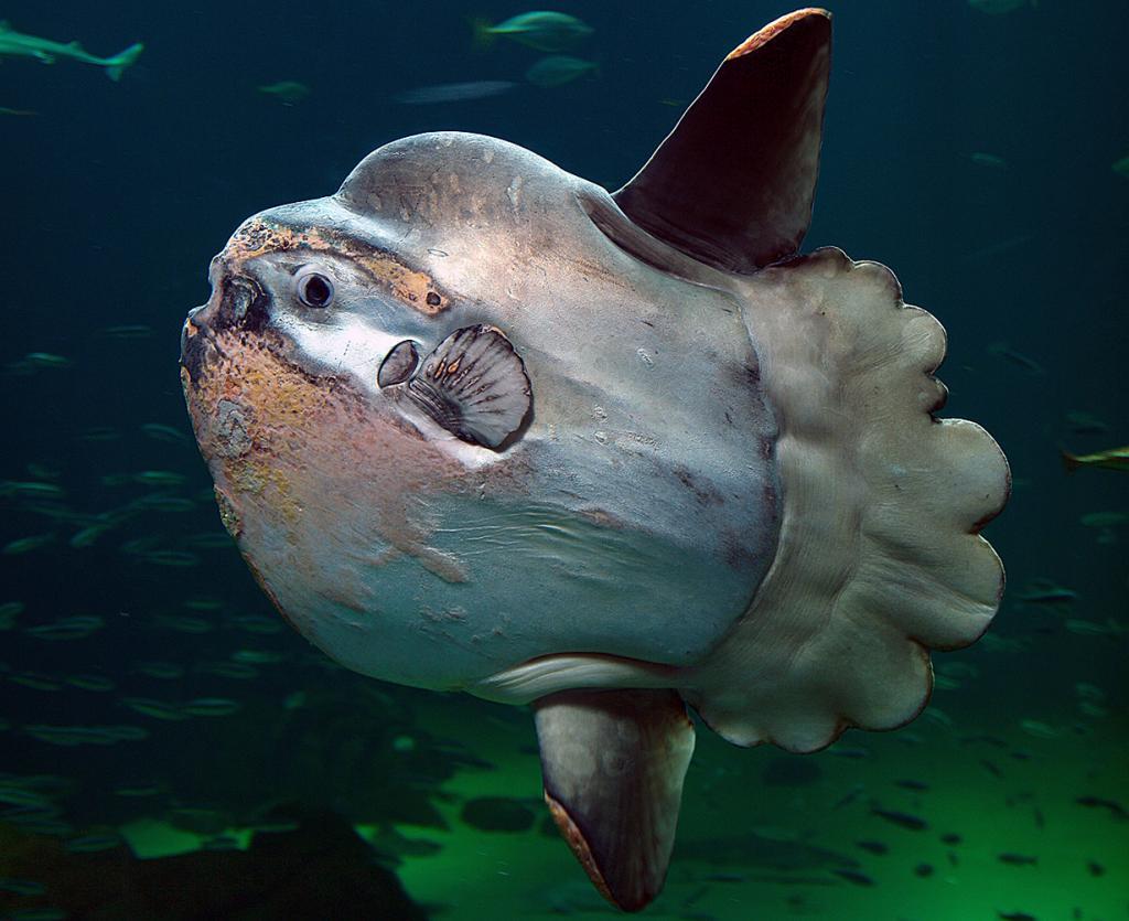 Луна-рыба. (Per-Ola Norman)