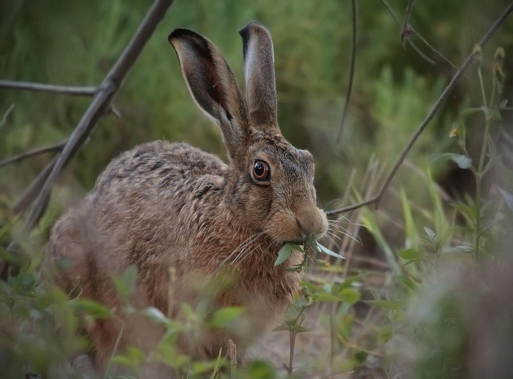 Даже кролики могут стать агрессорами — для этого их достаточно перевезти («интродуцировать», как говорят учёные) в такое место, где они будут лишены многих естественных врагов. Что, собственно, и произошло в Австралии, после того как фермер Томас Остин решил выпустить на свободу две дюжины «ушастых». (Richard Taylor)
