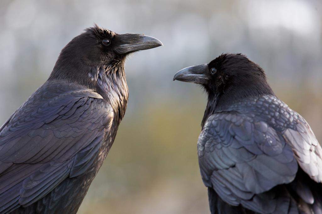 Об уме воронов ходят легенды — эти птицы способны вытворять невероятные вещи, чтобы добраться до еды, например, раскалывать орех, подкладывая его под колёса автомобиля и т.д. Когда учёные решили проверить, действительно ли ворон наделён интеллектом, птице начали давать пить воду из глубокого кувшина, которую он не мог достать клювом. Испытуемый ворон додумался бросать в ёмкость различные предметы, чтобы уровень воды поднимался. В общем, эти птицы совершенно точно найдут выход из любого положения! (Neal Herbert)