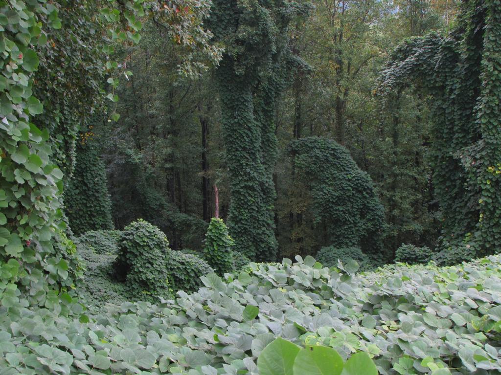 Говорят, что кудзу (пуэрария дольчатая) — это месть японцев, употребляющих данное растение в пищу, за Вторую мировую войну. В США оно было завезено для борьбы с эрозией глинистых почв, однако на новой для себя территории кудзу моментально стал злостным сорняком. (BlueRidgeKitties)