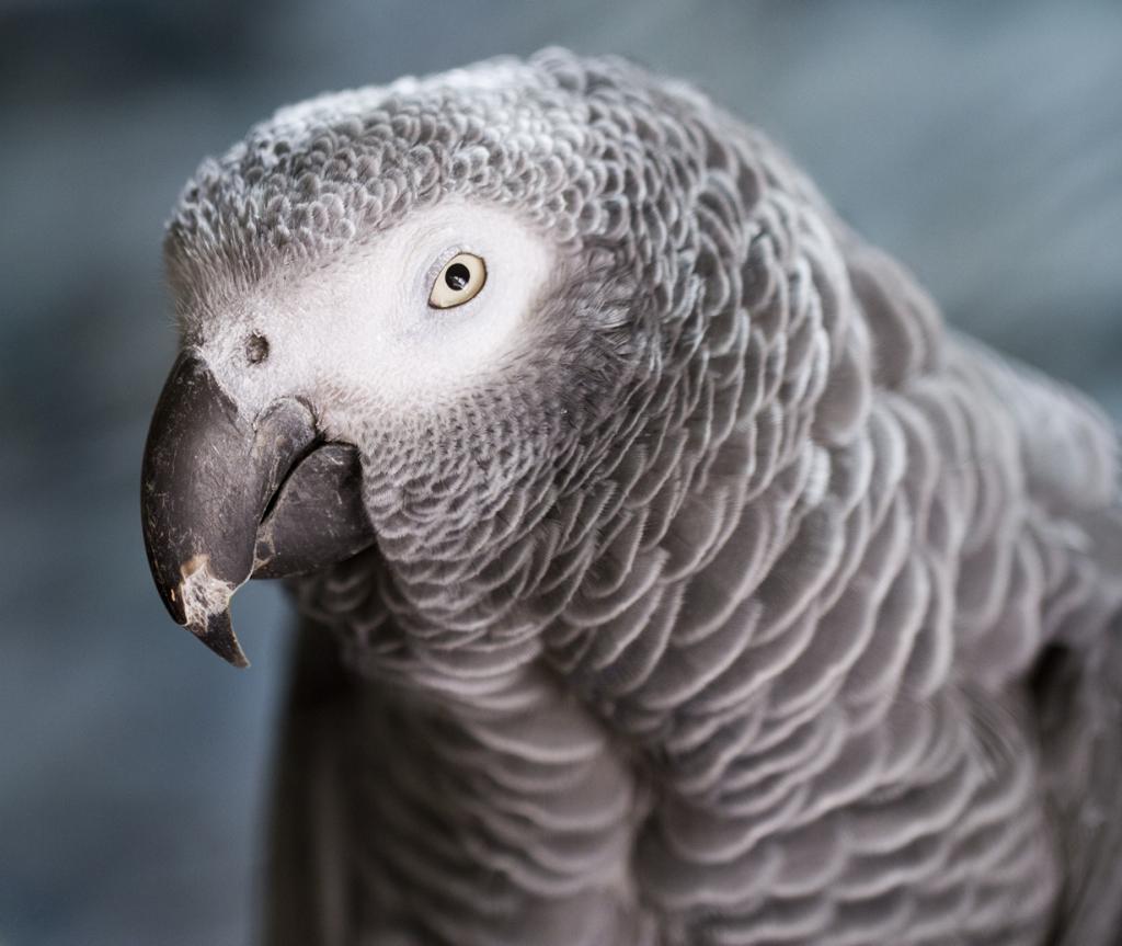 Определённый уровень интеллекта замечен у попугаев, в частности — у жако. Да, в большинстве случаев они просто повторяют услышанные звуки, не понимая их значения, однако это из-за отсутствия должного обучения. Доказано, что они способны ассоциировать слова с предметами, которые те обозначают, а также воспринимать понятие формы, цвета, порядкового номера. (Nathan Rupert)