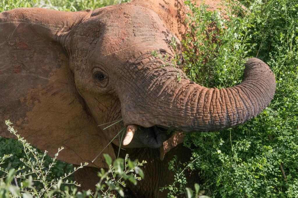 Открывают тройку «самых умных» животных слоны. Они опознают себя в зеркальном отражении, что считается признаком самосознания, обладают прекрасной долговременной памятью и ориентацией на местности, умеют пользоваться инструментами (например, ветками в качестве «мухобоек»), различают множество звуков, и главное — очень восприимчивы к смерти своих собратьев. Эти гиганты умеют делать выводы и сопереживать! (Peter Steward)