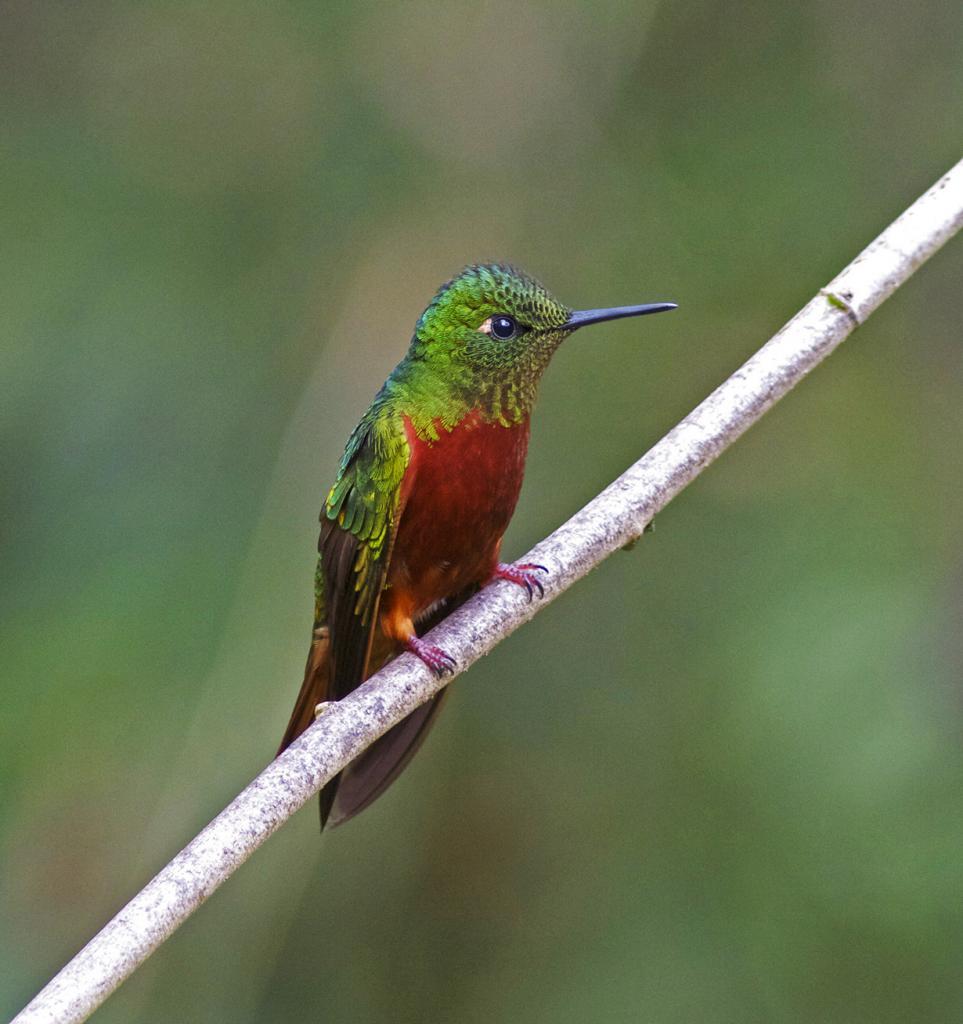 10 место. Каштановогрудый венценосный колибри. Род: Венценосные колибри. (Joseph C Boone)