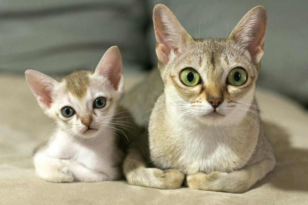 9 место. Сингапурская кошка. (sakura Ishihara)