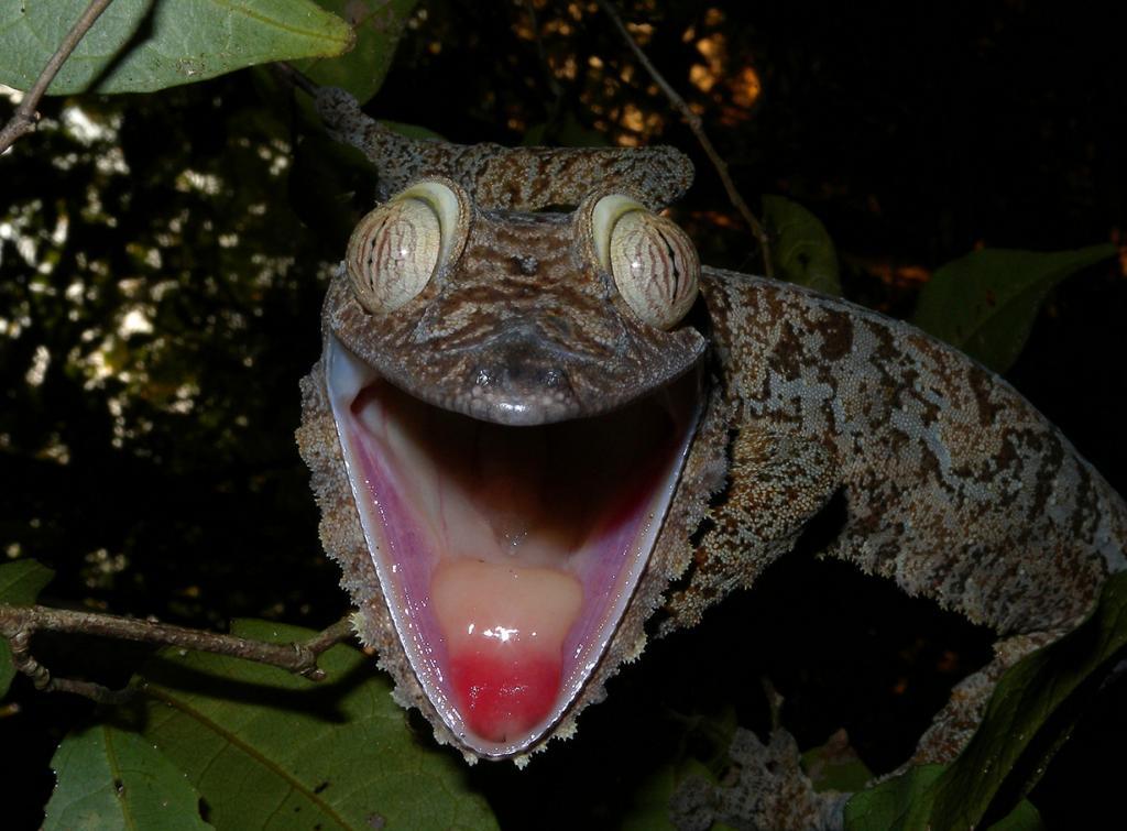 Мадагаскарский плоскохвостый геккон. (Frank Vassen)