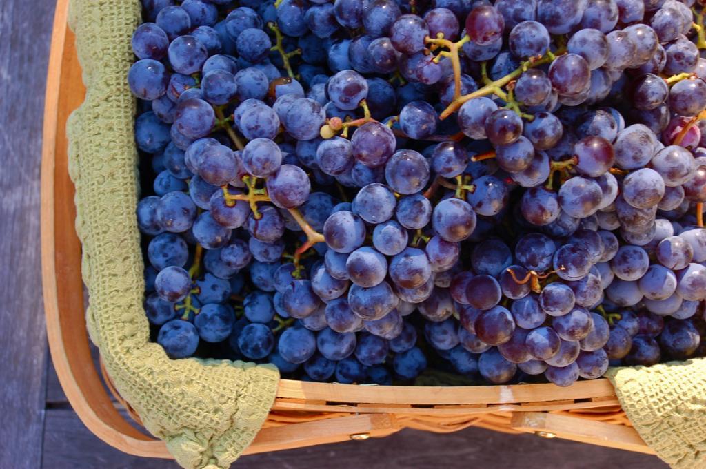 Виноград. Без этого растения не существовал бы любимый всеми напиток — вино. Свежие ягоды содержат витамины А, С, Е, группы В, РР, Н, в также железо, кальций, калий, магний, натрий, фосфор, хлор, и другие микроэлементы. (Dennis Wilkinson)