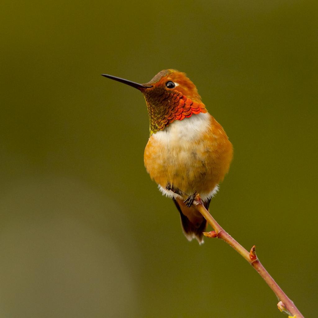 6 место. Охристый колибри. Род: Колибри-селасфорусы. (Nicole Beaulac)