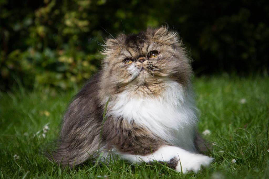 6 место. Персидская кошка. (Joanne Goldby)