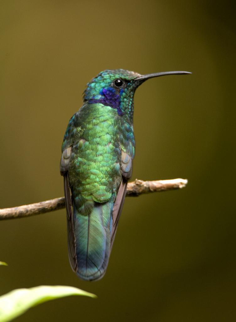 4 место. Колибри Colibri thalassinus. Род: Фиалкоухи. (Laura Gooch)