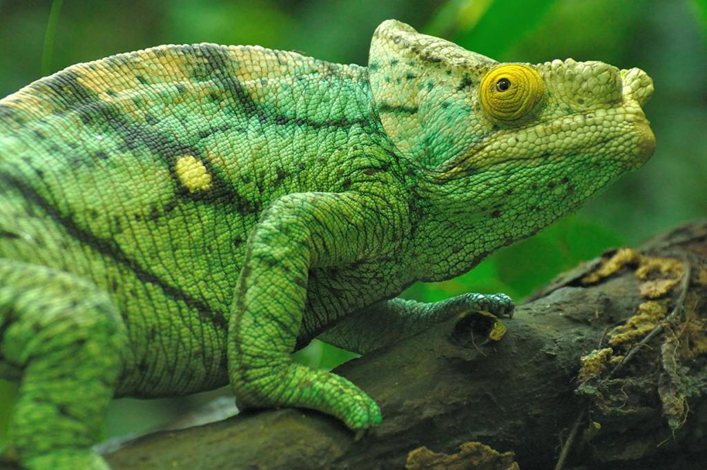 Ареал обитания — Мадагаскар. (Sibylle Stofer)