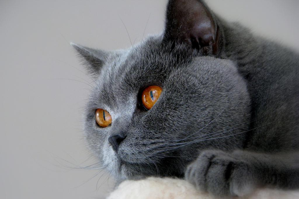 2 место. Британская короткошёрстная кошка. (westpark)