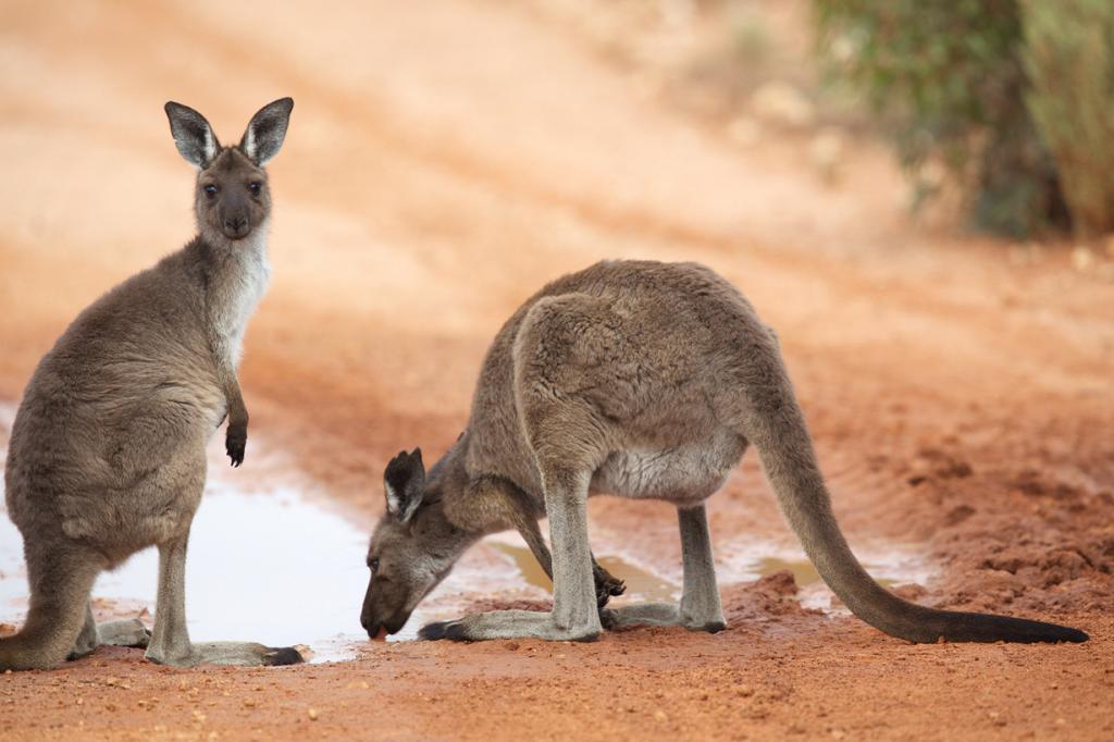 Западный серый кенгуру. (sunphlo)