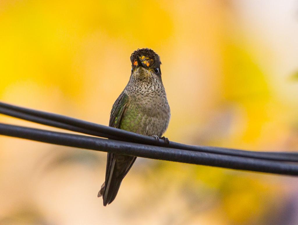14 место. Чилийский огненношапочный колибри. Род: Огненношапочные колибри. (Flavio Camus)