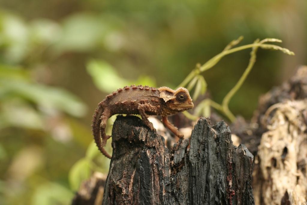 Antsingy leaf chameleon (Brookesia perarmata) - Madagascar