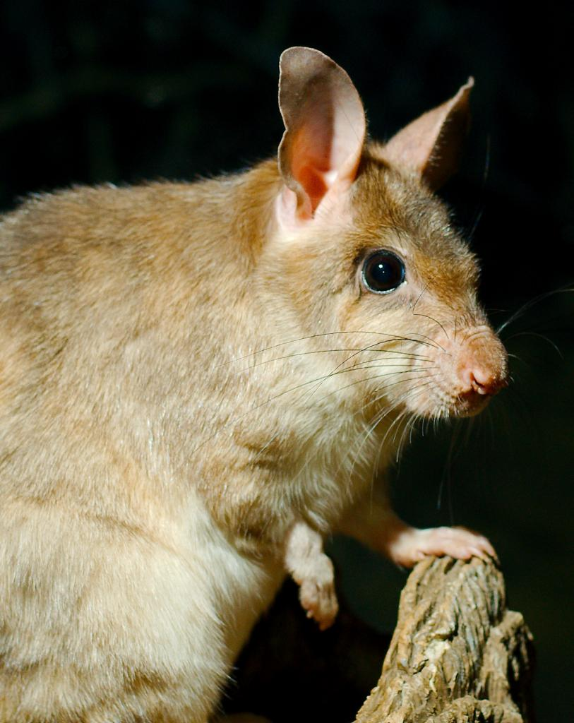 Мадагаскарская гигантская крыса. (Josh More)