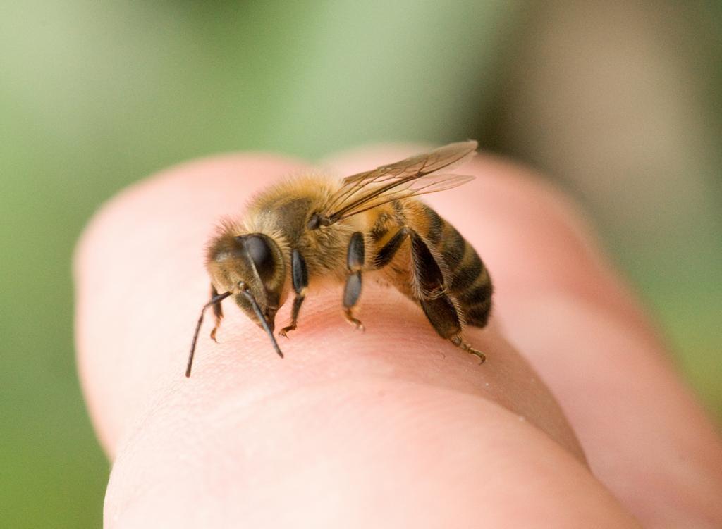 6 место. Пчёлы. Эти медоносные труженицы могут стать причиной смерти человека. Ежегодно от укусов пчёл умирают более четырёх сотен человек. (e_monk)