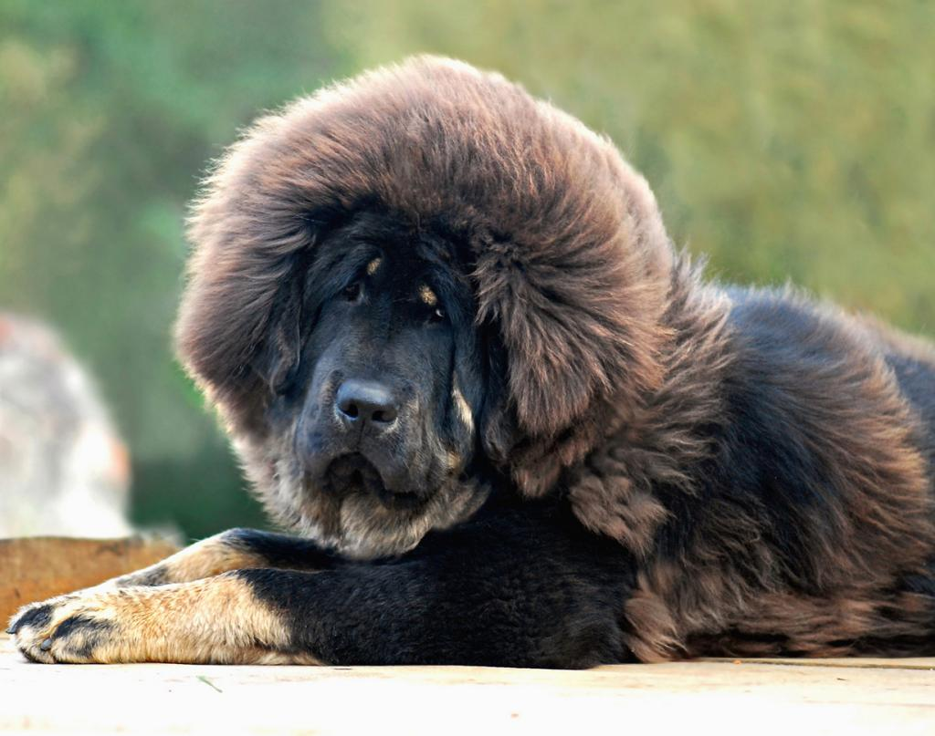 Тибетский мастиф. Стоимость — от $2 200 до $7 000. (mastino0100)