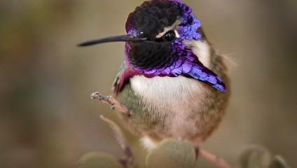 Топ-15 самых красивых видов колибри (15 фото)