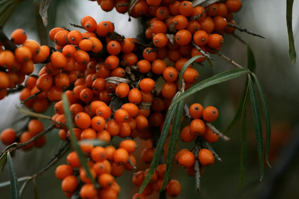 Облепиха. Плоды используются для получения облепихового масла, их также добавляют в чай. (Arthur Chapman)