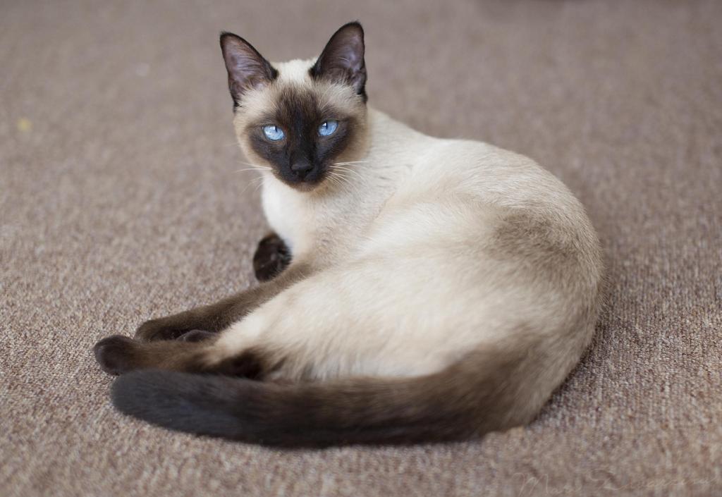 8 место. Тайская кошка. (MiuMiuKitty)