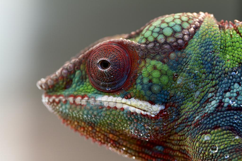 Ареал обитания — Мадагаскар. (Florence Ivy)