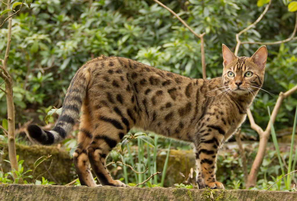 1 место. Бенгальская кошка. (Sam Salt)