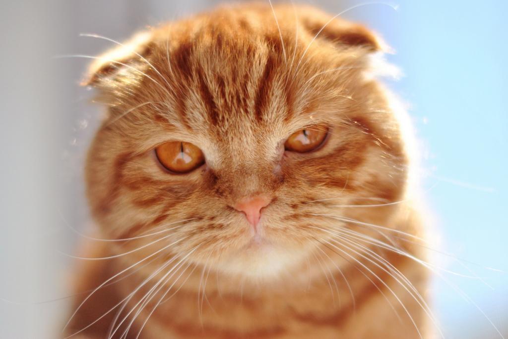 3 место. Шотландская вислоухая кошка. (catiful)