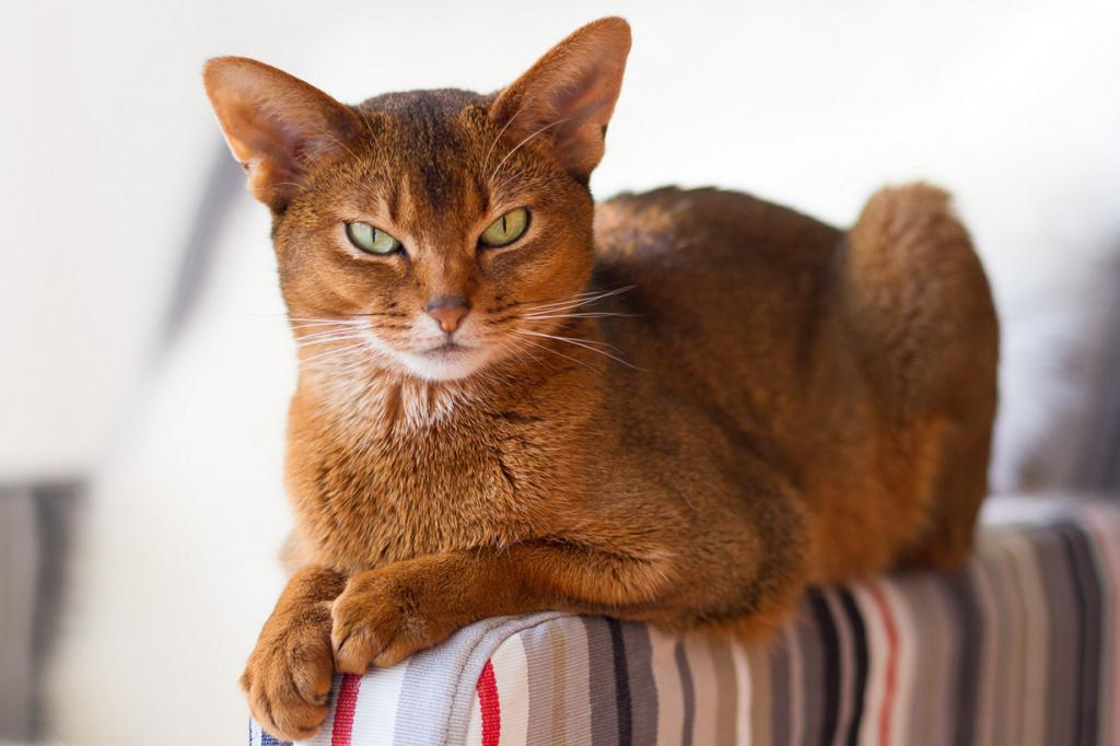 5 место. Абиссинская кошка. (peterned)
