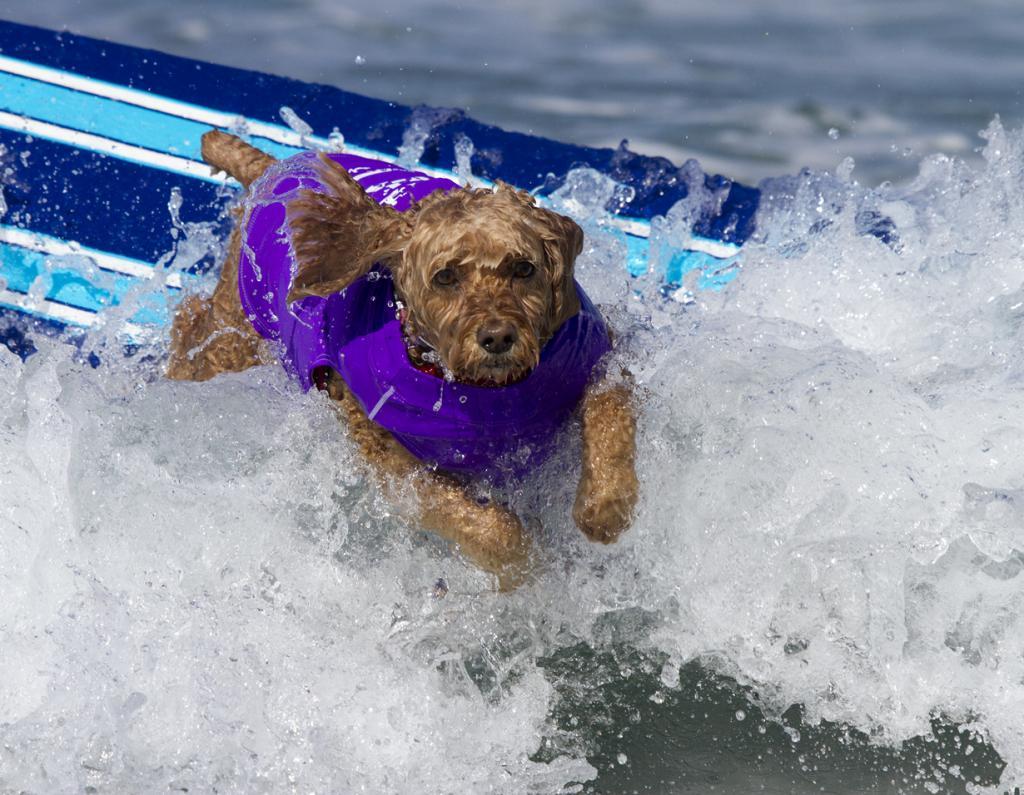 США. Ранчо-Санта-Фе, Калифорния. Во время соревнования Surf Dog Surf-A-thon 2014. (Nathan Rupert)