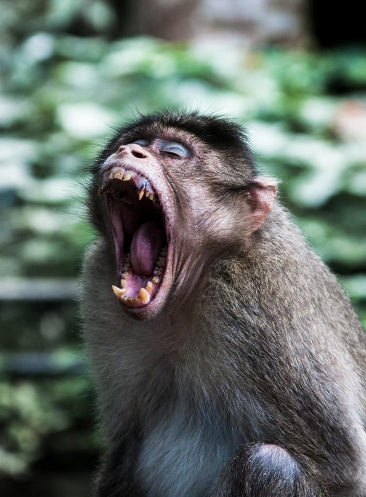 4 место. Обезьяны. В странах Южной Азии обезьяны приобщились к жизни рядом с человеком. В поисках пищи они стаями могут нападать как на детей, так и на взрослых. Нередко такие случаи становятся для жертвы фатальными. (Navaneeth KN)