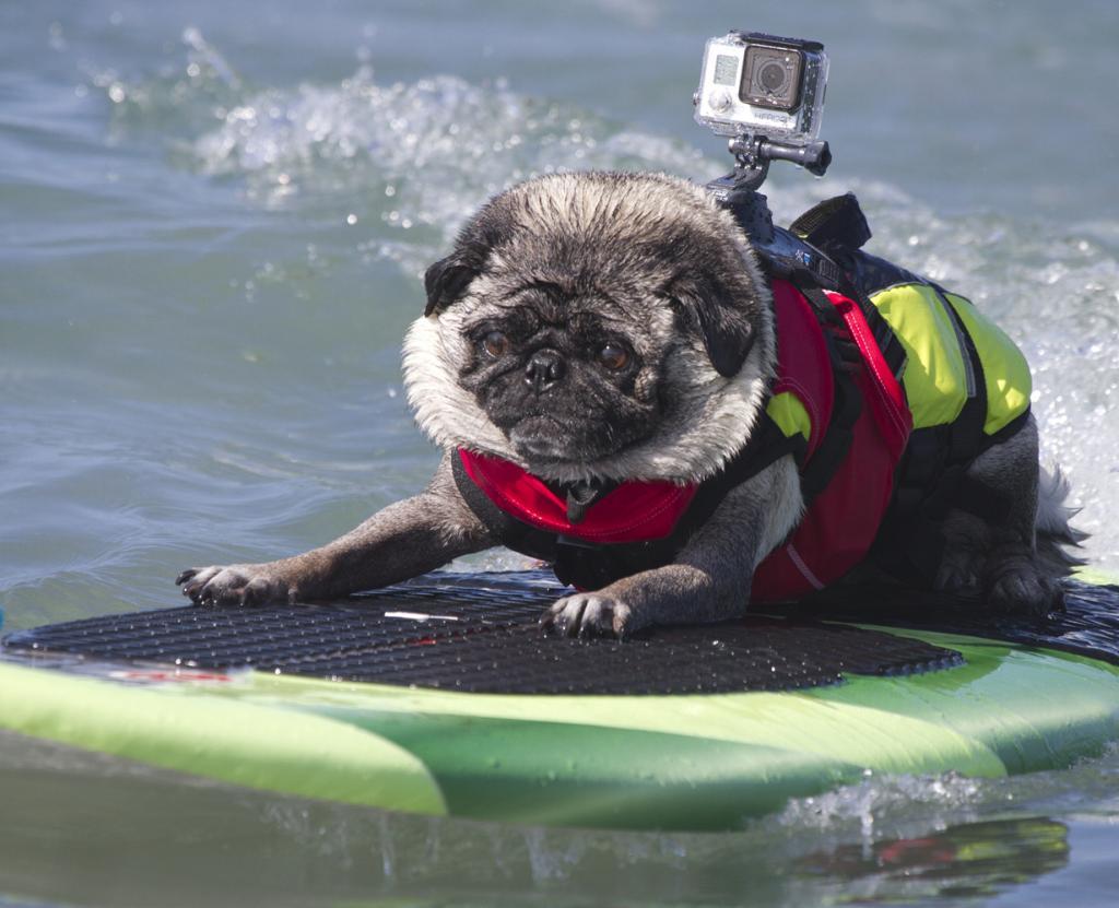 Собачий сёрфинг. Соревнования Surf Dog Surf-A-thon 2014 (15 фото)