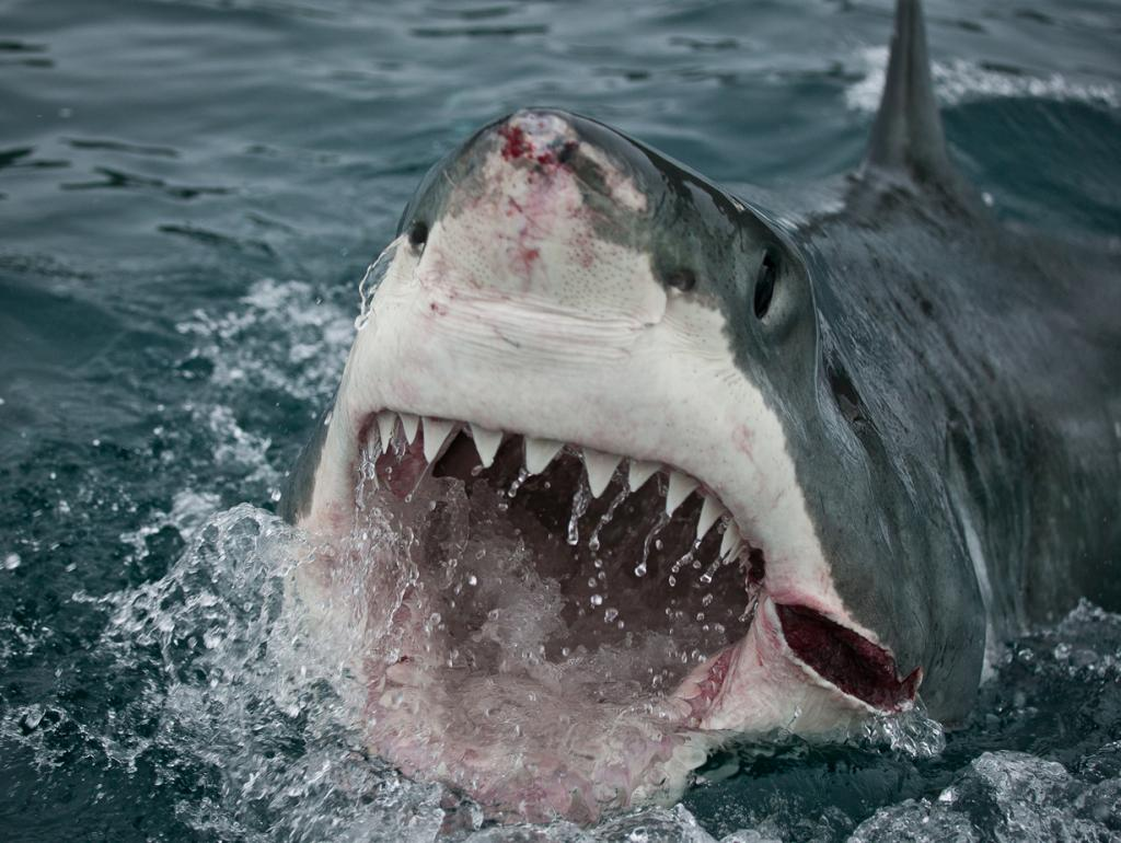 7 место. Акулы. Самая опасная из этих зубатых рыб — белая акула. Ареал обитания включает все океаны, кроме Северного Ледовитого. Ежегодно жертвами белой акулы становятся до 400 человек. (Lwp Kommunikáció)