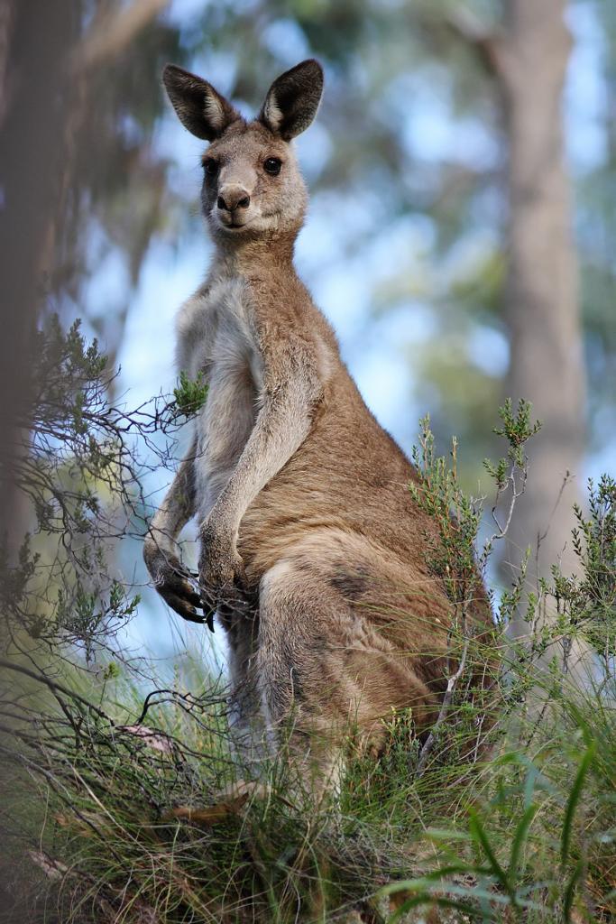 Гигантский кенгуру. (fir0002)
