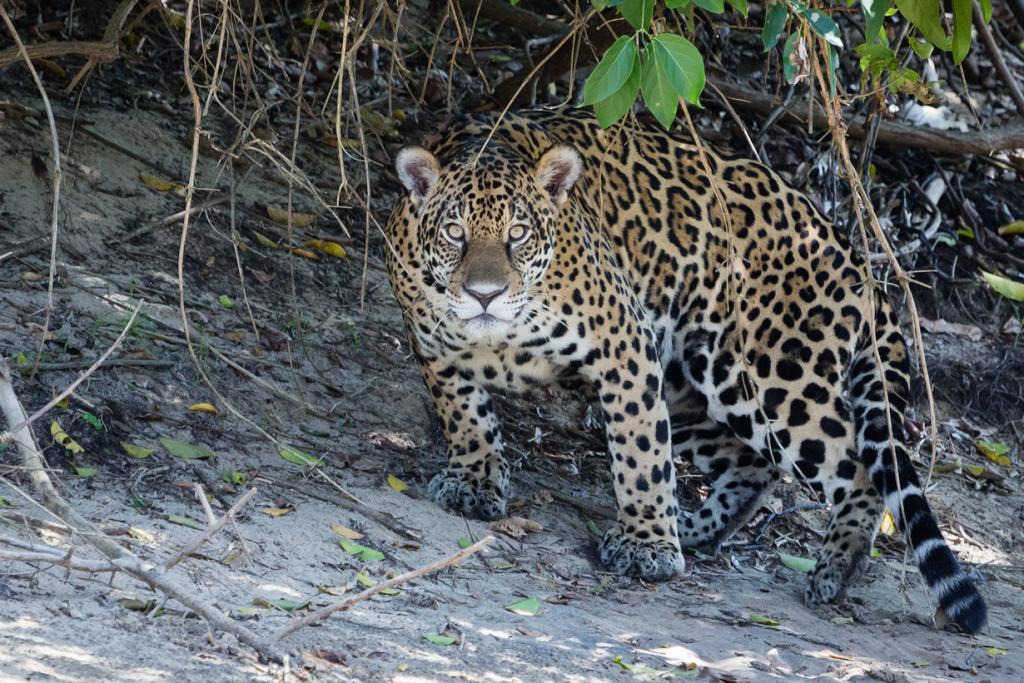 Brasil.  Pantanal.  (Bart van Dorp)