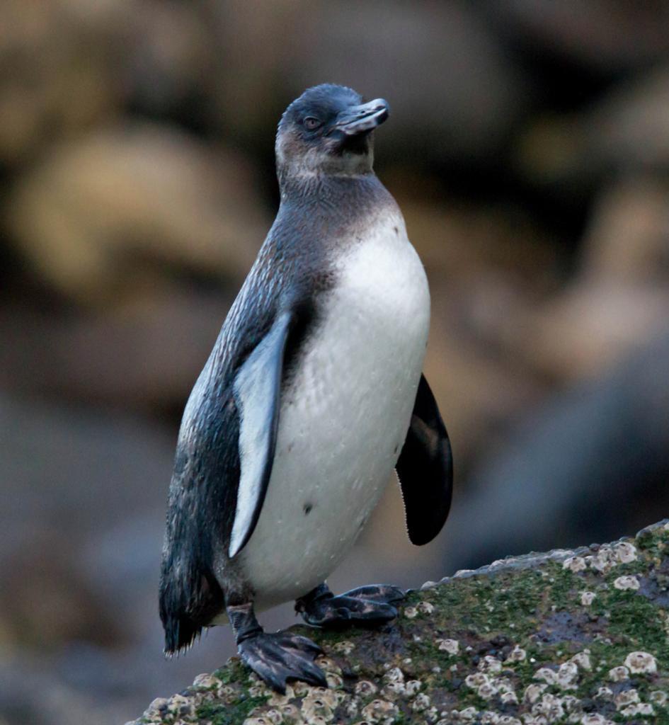 Галапагосский пингвин. (budgora)