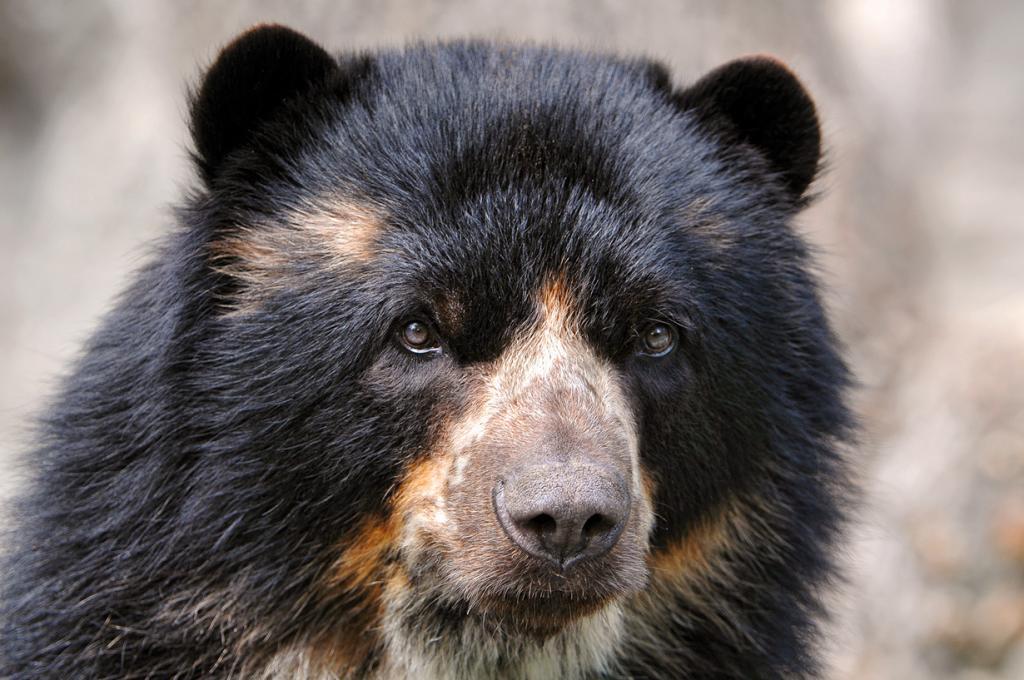 Очковый медведь. Ареал обитания: Боливия, Венесуэла, Колумбия, Эквадор, Перу, Панама. (Tambako The Jaguar)
