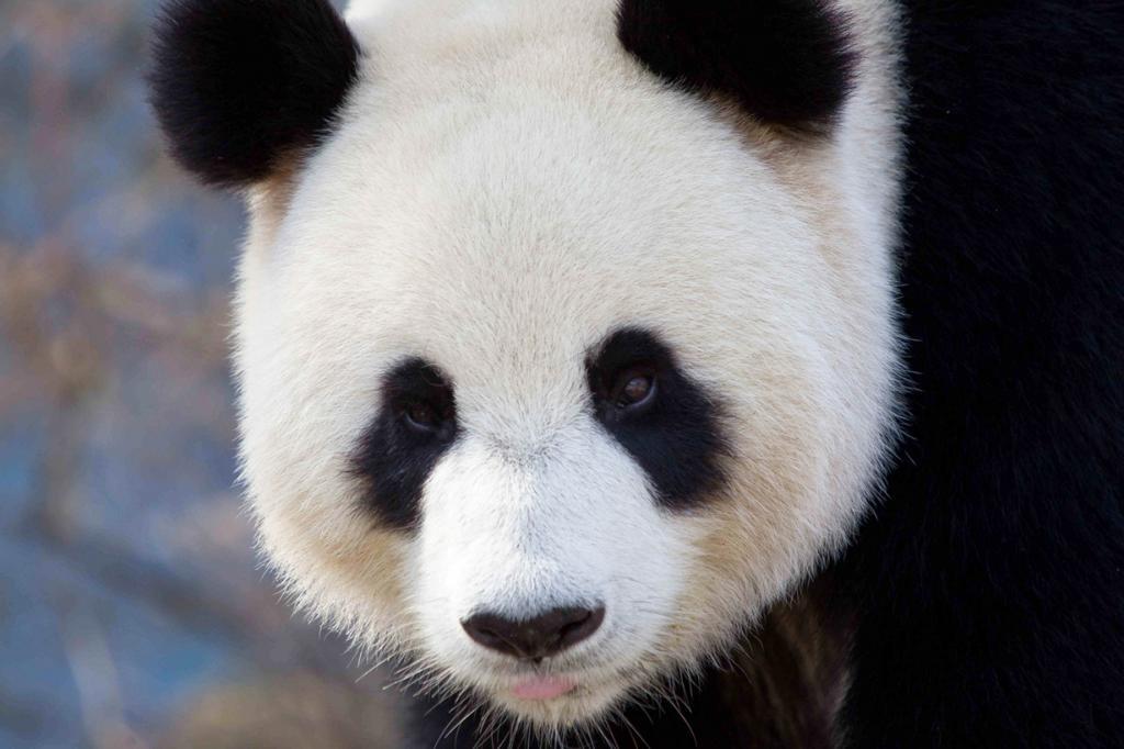 Большая панда. Ареал обитания: Китай, Тибет. (Ben Houdijk)